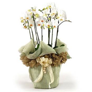 Eryaman çiçekçi telefonları eryaman çiçek  3 dal orkide , saksi çiçegi , 3 kök orkide