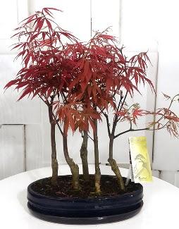 5 adet japon akçaağaç bonsai çiçeği  Eryaman çiçek gönderme sitemiz güvenlidir