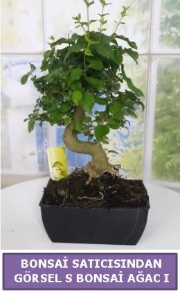 S dal eğriliği bonsai japon ağacı  Eryaman çiçek gönderme sitemiz güvenlidir