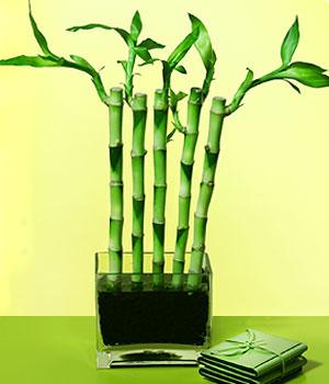 Çiçek yolla Eryaman 14 şubat sevgililer günü çiçek  Good Harmony Lucky Bamboo camda
