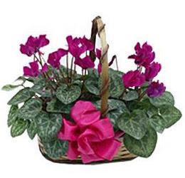 Eryamandaki çiçekçiler kaliteli taze ve ucuz çiçekler  sepet içerisinde 2 adet cyklamen saksi çiçegi