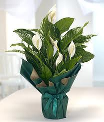 Spatifilyum Barış çiçeği Büyük boy  Eryaman ankaradaki internetten çiçek siparişi