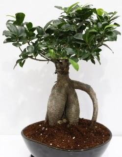 Japon ağacı bonsai saksı bitkisi  Eryaman online çiçekçi , çiçek siparişi