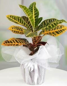 Orta boy kraton saksı bitkisi  Eryaman ankaradaki internetten çiçek siparişi