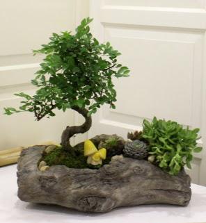 Ağaç kütük içerisinde bonsai ve sukulent  Ankara Eryaman yurtiçi ve yurtdışı çiçek siparişi