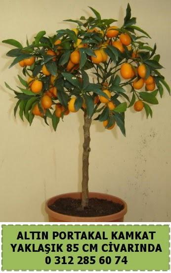 Altın portakal Kamkat ağacı bitkisi  Eryamandaki çiçekçiler kaliteli taze ve ucuz çiçekler