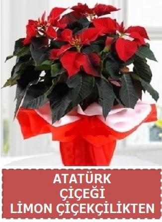 Atatürk çiçeği saksı bitkisi  Eryaman çiçek gönderme sitemiz güvenlidir