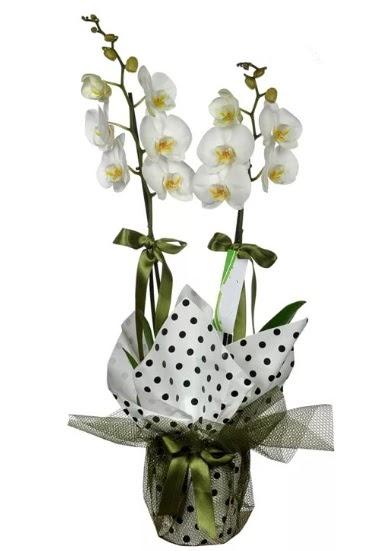 Çift Dallı Beyaz Orkide  Eryaman çiçekçiler çiçek online çiçek siparişi