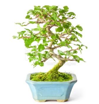 S zerkova bonsai kısa süreliğine  Eryaman çiçek yolla , çiçek gönder , çiçekçi