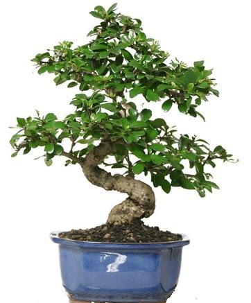 21 ile 25 cm arası özel S bonsai japon ağacı  Eryaman çiçek güvenli kaliteli hızlı çiçek